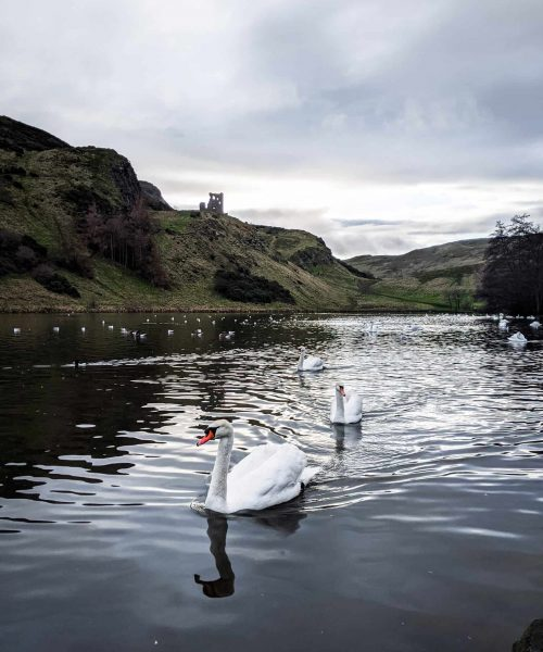 Edinburgh lake with swans